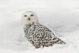Snowy Owl on snow, Montana, Bubo scandiacus Fotografisk trykk av Adam Jones