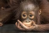 Indonesia, Borneo, Kalimantan. Baby orangutan at Tanjung Puting National Park. Fotografie-Druck von Jaynes Gallery
