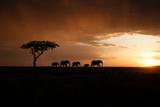 Africa, Kenya, Maasai Mara, elephants walking at sunset Fotografisk trykk av Hollice Looney