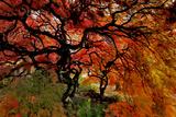 USA, Oregon, Portland. Japanese lace maple trees in garden. Fotoprint van Jaynes Gallery