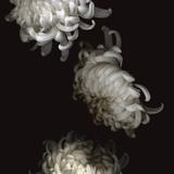 Tumbling White Chrysanthemums Fotografisk tryk af Doris Mitsch