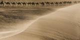 Salt caravan, Sahara Desert, Mali Fotografisk trykk av Art Wolfe