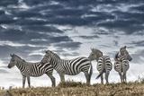 Africa, Kenya, Masai Mara National Reserve. Group of zebras on ridge. Fotografie-Druck von Jaynes Gallery
