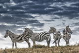 Africa, Kenya, Masai Mara National Reserve. Group of zebras on ridge. Lámina fotográfica por Jaynes Gallery