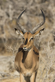 Namibia, Etosha National Park. Portrait of black-faced impala chewing its cud. Fotografisk tryk af Jaynes Gallery