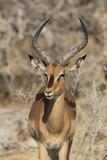 Namibia, Etosha National Park. Portrait of black-faced impala chewing its cud. Fotografisk tryk af Jaynes Gallery