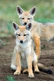 Golden jackal (Canis aureus) cubs, Ndutu, Ngorongoro Conservation Area, Tanzania Lámina fotográfica