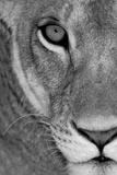 Lioness Close-Up Tanzania Africa Lámina fotográfica