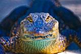 Close-up of an Alligator Fotografie-Druck