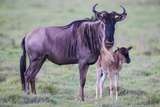 Africa. Tanzania. Wildebeest birthing during the Migration, Serengeti National Park. Impressão fotográfica por Ralph H. Bendjebar