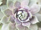 Succulent Glow II Fotografisk trykk av Jason Johnson