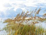 Golden Sea Oats Waving in the Breach on a Pristine Beach in Pensacola, Florida Fotografie-Druck von  forestpath