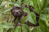 A wild brown-throated sloth , Landing Casual, Upper Amazon River Basin, Loreto, Peru Lámina fotográfica por Michael Nolan