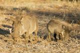 Common warthog (Phacochoerus africanus), Kruger National Park, South Africa, Africa Lámina fotográfica por Christian Kober
