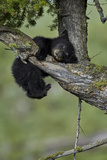 Black Bear (Ursus americanus) cub of the year or spring cub, Yellowstone Nat'l Park, Wyoming, USA Lámina fotográfica por James Hager