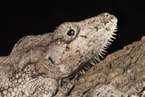 Cuban False Chameleon (Chamaeleolis), captive, Cuba, West Indies, Central America Photographic Print by Janette Hill