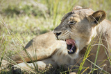African Lion (Panthera Leo), Zambia, Africa Photographic Print by Janette Hill