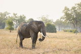African Elephant (Loxodonta Africana), Zambia, Africa Photographic Print by Janette Hill