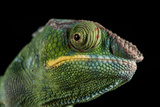 Panther Chameleon (Furcifer Pardalis), captive, Madagascar, Africa Photographic Print by Janette Hill