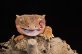 Crested Gecko (Correlophus Ciliates) in captivity, New Caledonia, Pacific Lámina fotográfica por Janette Hill