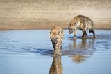 Spotted Hyena (Crocuta Crocuta), Zambia, Africa Photographic Print by Janette Hill