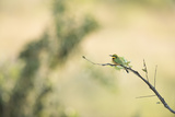Little Bee Eater (Merops Pusillus), Zambia, Africa Photographic Print by Janette Hill