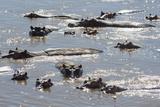 Hippopotamus (Hippopotamus Amphibious), Zambia, Africa Photographic Print by Janette Hill