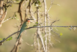 White Fronted Bee Eater (Merops Bullockoides), Zambia, Africa Photographic Print by Janette Hill