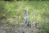 Leopard (Panthera Pardus), Zambia, Africa Photographic Print by Janette Hill