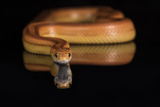 Corn Snake (Pantherophis Guttatus), captive, United States of America, North America Photographic Print by Janette Hill