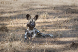 African Wild Dog (Painted Dog) (African Hunting Dog) (Lycaon Pictus), Zambia, Africa Photographic Print by Janette Hill
