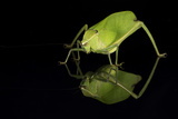 Katydid (Tettigoniidae), captive, Costa Rica, Central America Photographic Print by Janette Hill