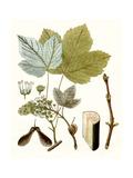 Maple Leaves IV Giclée-Premiumdruck