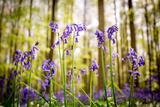 Belgium, Hallerbos, beech forest in Belgium full of blue bells flowers. Impressão fotográfica por  ClickAlps