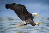 USA, Louisiana, Houmas, Bald Eagle, Haliaeetus leucocephalus Photographic Print by Christian Heeb
