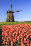 Red and orange tulip fields and the blue sky frame the windmill in spring Berkmeer Koggenland North Impressão fotográfica por  ClickAlps