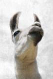 Pondering Llama Lámina fotográfica por Marcus Prime