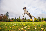 Springer Spaniel jumping to catch treat, United Kingdom, Europe Fotoprint van John Alexander