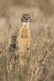 Yellow mongoose (Cynictis penicillata), Kgalagadi Transfrontier Park, South Africa, Africa Lámina fotográfica por Ann and Steve Toon