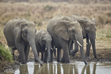 African elephant (Loxodonta africana) drinking, Mikumi National Park, Tanzania, East Africa, Africa Photographic Print by James Hager