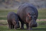 Hippopotamus (Hippopotamus amphibius) mother and baby, Ruaha National Park, Tanzania, East Africa,  Lámina fotográfica por James Hager