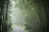 Bamboo Forest, Sichuan Province, China, Asia Fotografisk trykk av Michael Snell