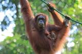 Bornean Orangutan mother and baby, Borneo, Malaysia, Southeast Asia, Asia Fotografie-Druck von Don Mammoser