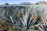 Tequila is made from the blue agave plant in the state of Jalisco and mostly around the city of Teq Stampa fotografica di Peter Groenendijk