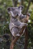 Koala (Phascolarctos cinereus), Lone Pine Sanctuary, Brisbane, Queensland, Australia, Pacific Lámina fotográfica por Michael Runkel