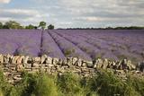 Cotswold Lavender field with Cotswold dry stone wall, Snowshill, Cotswolds, Gloucestershire, Englan Reproduction photographique par Stuart Black
