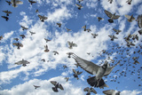 Homing pigeons flying over Brooklyn, New York. Photographic Print by Joel Sartore