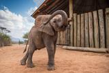 An Orphan Elephant at the Reteti Elephant Sanctuary in Northern Kenya Fotografie-Druck von Ami Vitale