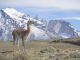A Guanaco, Lama Guanicoe, Stands on a Hillside in Torres Del Paine National Park Photographic Print by Jeff Mauritzen