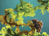 A Mix of Kelp, Irish Moss, and Sea Lettuce Harvested Off the Coast of Maine Photographic Print by Rebecca Hale